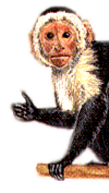 illustration of a tropical capuchin